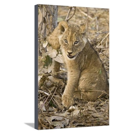Okavango Delta, Botswana. Close-up of Lion Cub with Paw Stuck in Twigs Stretched Canvas Print Wall Art By Janet Muir](Lion Paw Print)