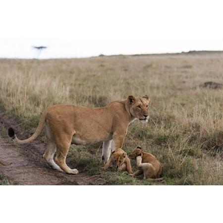 Lion (Panthera Leo), Masai Mara, Kenya, East Africa, Africa Print Wall Art By Sergio -