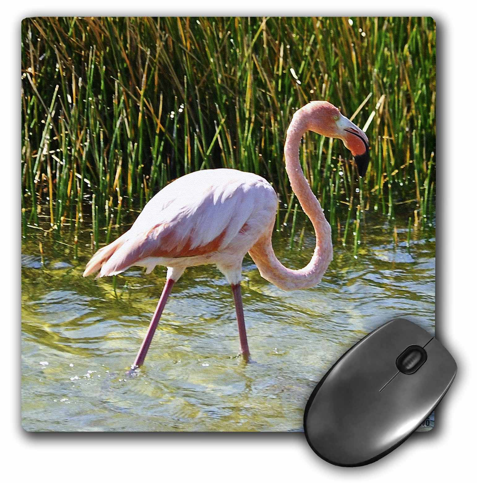 3dRose Caribbean pink flamingo,Phoenicopterus rubber,Punta Moreno Isabela Island Galapagos, Mouse Pad, 8 by 8 inches