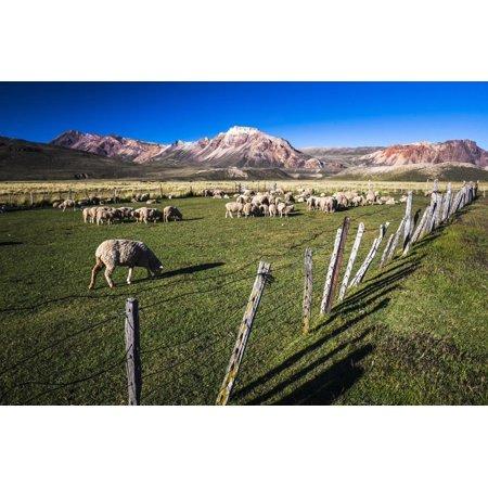Sheep on the Farm at Estancia La Oriental, Argentina Print Wall Art By Matthew