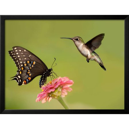 Black Swallowtail Butterfly Feeding On Pink Flower With A ...