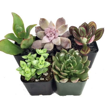 Succulent Terrarium & Fairy Garden Plants - 5 Different Plants in 2