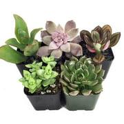 """Succulent Terrarium & Fairy Garden Plants - 5 Different Plants in 2"""" Pots"""