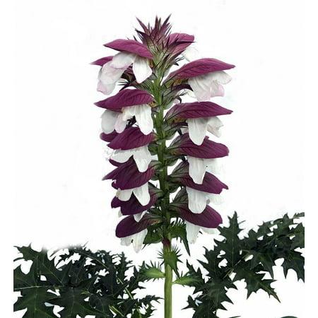 Bear's Breeches Plant - Acanthus spinosus - Gallon Pot