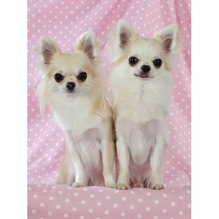 Chihuahua Dog Print Wall Art (Chihuahua Dog Art)
