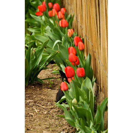 LAMINATED POSTER Black Tulips Hiding Cat Red Hide Funny Eye Poster Print 11 x 17 - Red Eye Funny