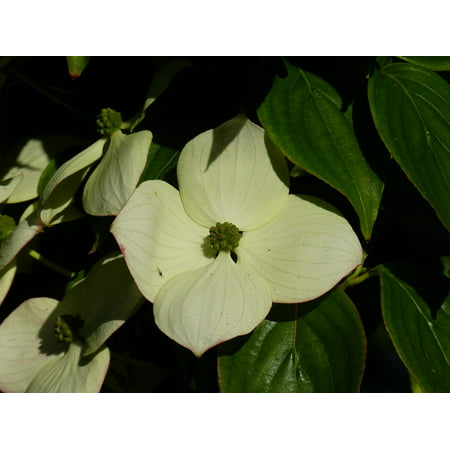 Peel-n-Stick Poster of White Horn Shrub Dogwood Cornus Bloom Blossom Poster 24x16 Adhesive Sticker Poster - Dogwood Bloom
