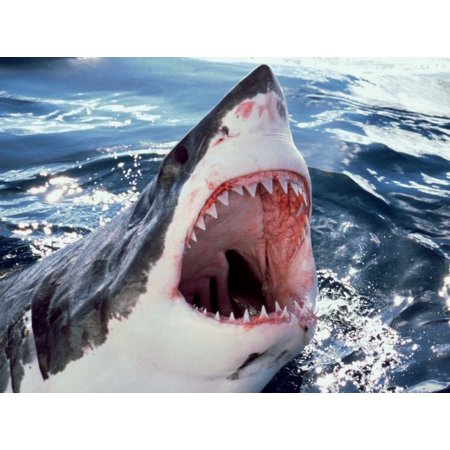 Great White Shark at surface with open mouth Neptune Islands Australia Digitally enhanced Poster Print by Mike Parry