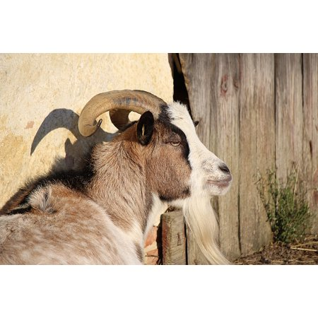 Canvas Print Horns Domestic Goat Animal Goat Goatee Billy Goat Stretched Canvas 10 x - Shaggy Goatee
