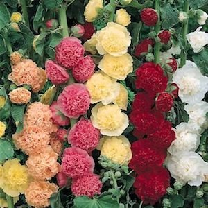 Hollyhock Chater's Double Mixed Colors Seed Heirloom - 1 -