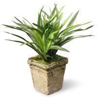 "11"" Dracaena Plant"
