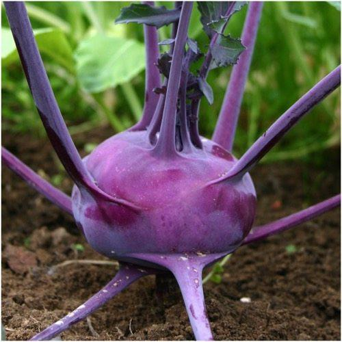 Packet of 500 Seeds, Purple Vienna Kohlrabi (Brassica oleracea) Non-GMO Seeds By Seed Needs