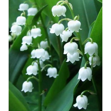 Classy Groundcovers - Lily of the Valley May Lily, May Bells, Lily Constancy, Ladder-to-Heaven, Male Lily, Muguet, Our Lady's Tears {25 Bare Root plants} - Man Eating Plant
