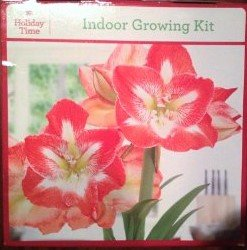 Holiday Time Indoor Growing Kit - Amaryllis 'Minerva'
