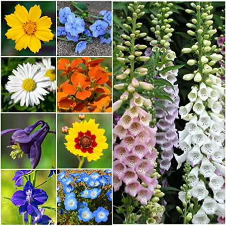 Bulk Package of 30,000 Seeds, Partial Shade Wildflower Mixture (15 Species) Open Pollinated Seeds By Seed (Best Flowers For Partial Shade)