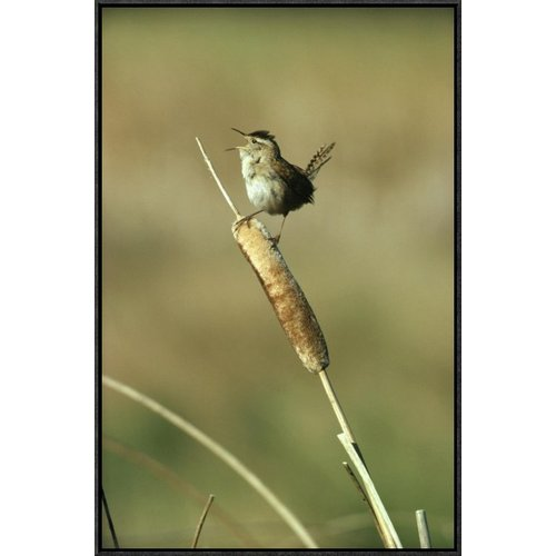 East Urban Home 'Marsh Wren Singing While Perching On A Common Cattail, Alberta, Canada' Framed Photographic Print