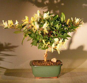 Flowering Japanese Honeysuckle Bonsai Tree - Medium (loni...