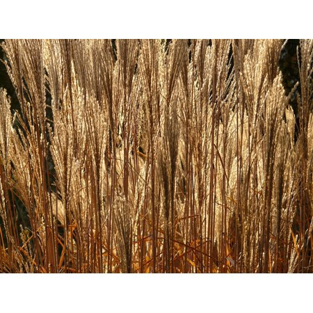 Canvas Print Miscanthus Sinensis Licorice Miscanthus Back Light Stretched Canvas 10 x (Miscanthus Sinensis Morning Light)