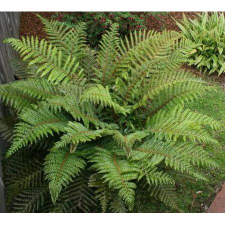 Classy Groundcovers - Cinnamon Fern  {25 Bare Root - Cinnamon Flowers