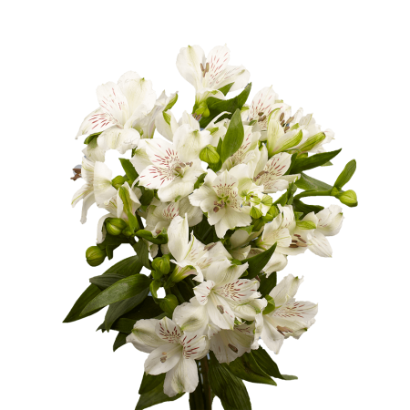 GlobalRose 240 Blooms of White Fancy Alstroemerias 60 Stems - Peruvian Lily Fresh Flowers for Delivery