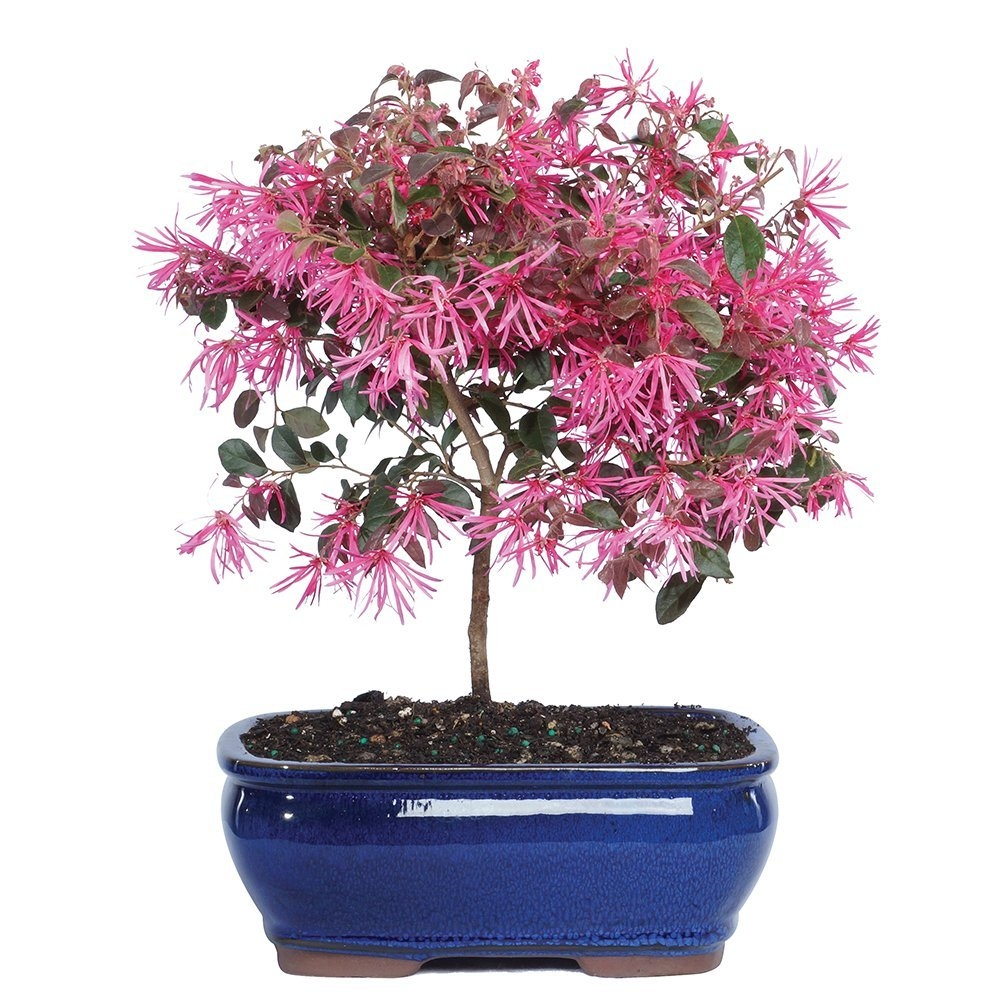 BRUSSEL'S BONSAI Brussel's Fringe Flower Bonsai - Medium ...