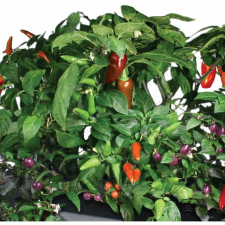 Miracle-Gro AeroGarden Chili Peppers 7-Pod Seed Kit (Aerogarden Pepper)