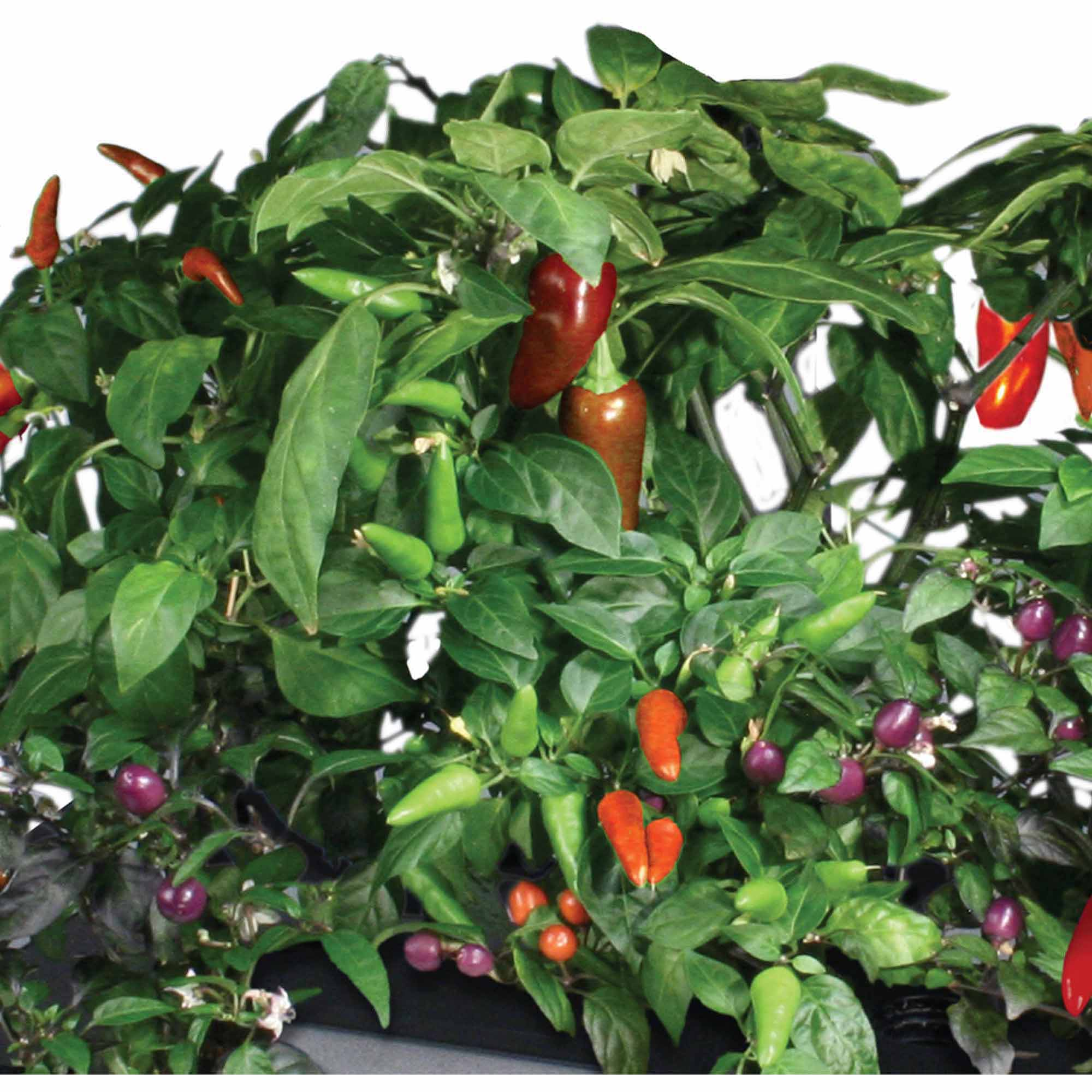 Miracle-Gro AeroGarden Chili Peppers 7-Pod Seed Kit