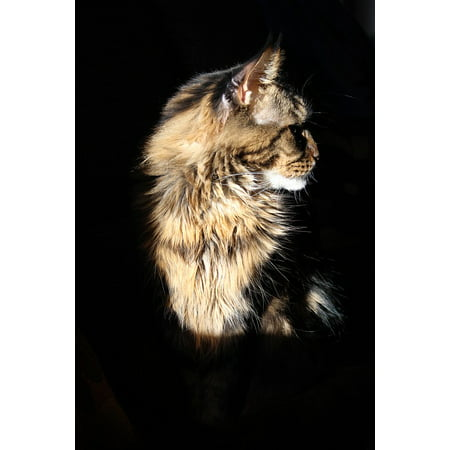 - Framed Art For Your Wall Tomcat Cat Maine Coon Cat 10x13 Frame