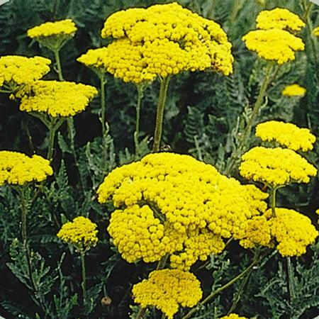 Golden Yarrow Wildflower Garden Seeds - 4 Oz - Perennial Wild Flower Gardening Seeds
