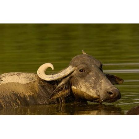 Water buffalo Wildlife Bharatpur village INDIA Canvas Art - Pete Oxford  DanitaDelimont (29 x 19) ()