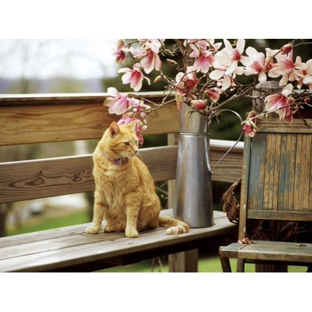 Close-up of Alert Ginger Cat, on Wooden Bench, with Twigs of Flowering Magnolia in Metal Jug Print Wall Art By Erika (Metal Magnolia)