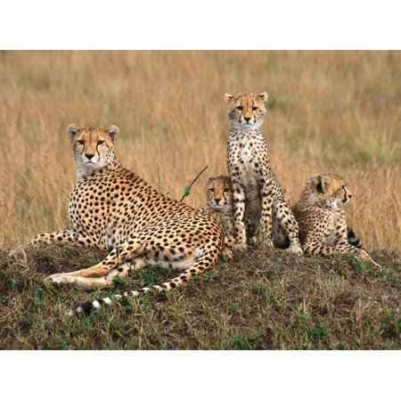 Cheetah & Cubs, Termite Mound, Masai Mara, Keny Print Wall Art By Michele (Colorful Cheetah Print)