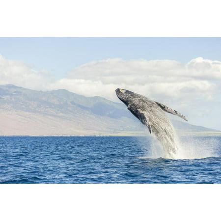 Humpback Whale, whale Watching off Maui, Hawaii, USA Print Wall Art By Stuart