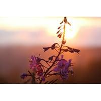 canvas print evening flowers nature sunset dusk plant romantic stretched canvas 10 x 14