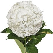 Natural Fresh Flowers - White Hydrangeas, 15 Stems