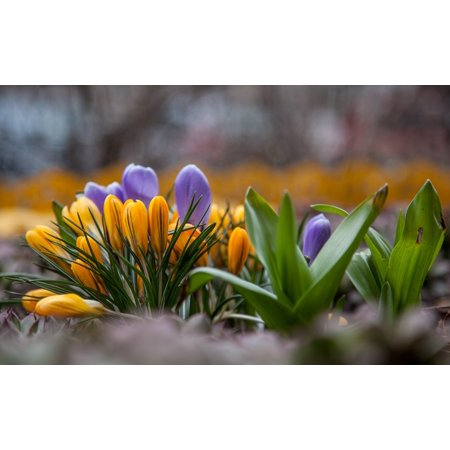 LAMINATED POSTER Crocuses Flowers Greens Yellow Spring Blue Purple Poster Print 24 x 36