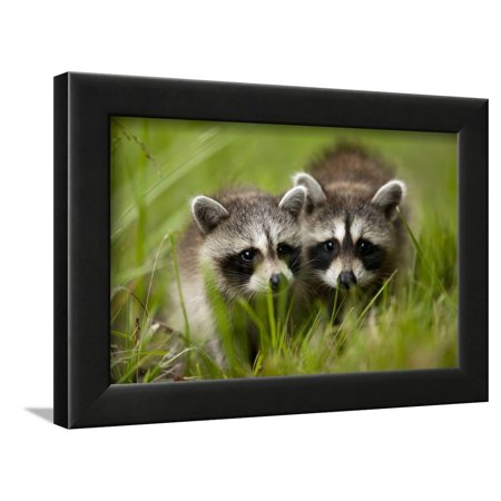 Raccoons at Assateague Island National Seashore in Maryland Framed Print Wall Art By Paul (Raccoon Framed)