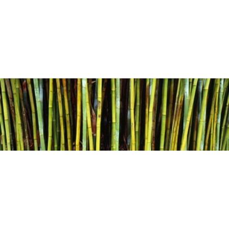 Bamboo trees in a botanical garden Kanapaha Botanical Gardens Gainesville Alachua County Florida USA Poster