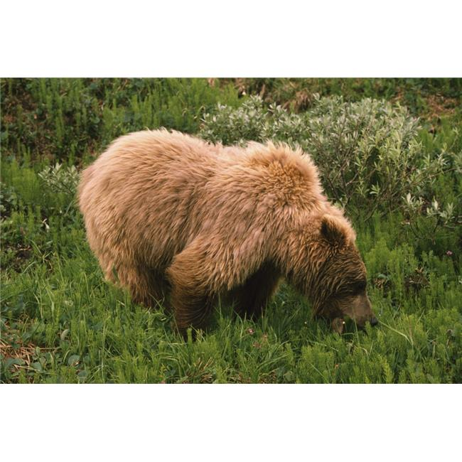 Grizzly Bear Eating Bear Grass Denali National Park Alaska USA Poster Print, 38 x 24 - image 1 de 1