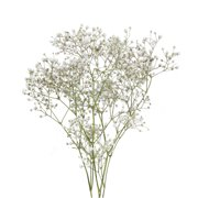 Natural Fresh Flowers - Baby's Breath, 5 Bunches