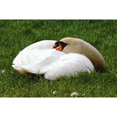 The Sleeping Swans >> Laminated Postermute Swan Swan Sleeping Swan Sleep Concerns Meadow Poster Print 24 X 36