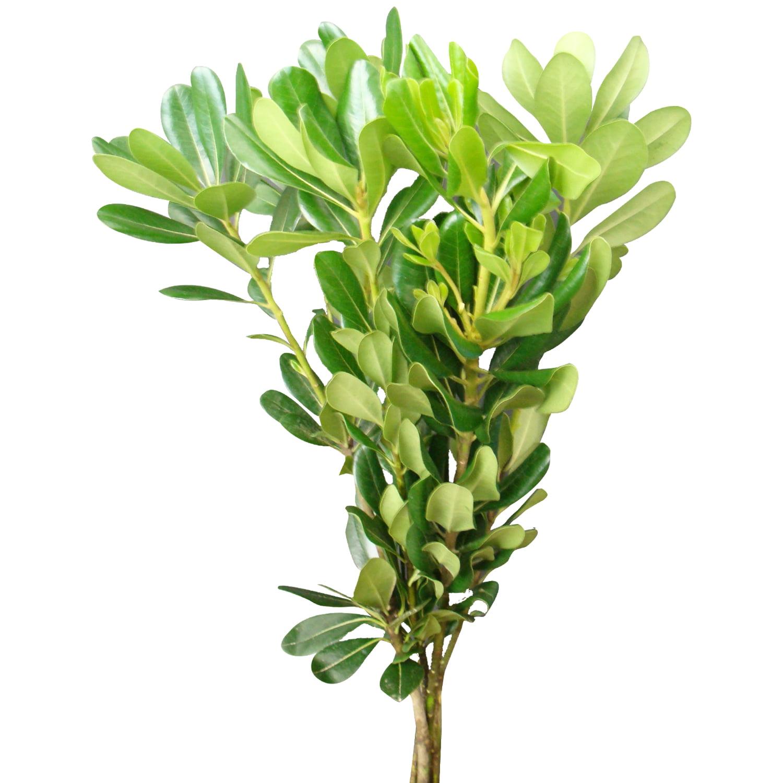 natural fresh flowers and greens green pittosporum 150