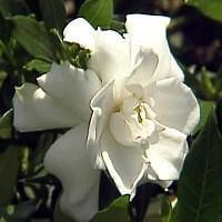 Dwarf Gardenia Plant - Gardenia radicans - FRAGRANT - 4