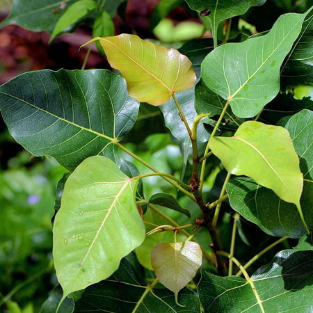 20 seeds -Sacred Fig Tree Seeds -Ornamental Tropical Plant- RARE -Standard or Container or Outdoors Ficus