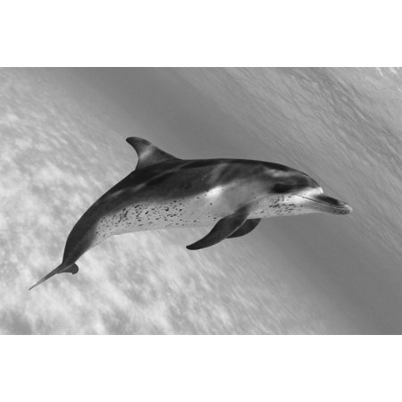 Spotted Dolphin - Atlantic Spotted Dolphin (Stenella Plagiodon) In Shallow Clear Ocean Water (Black And White Photograph) Stretched Canvas - Dave Fleetham  Design Pics (18 x 12)