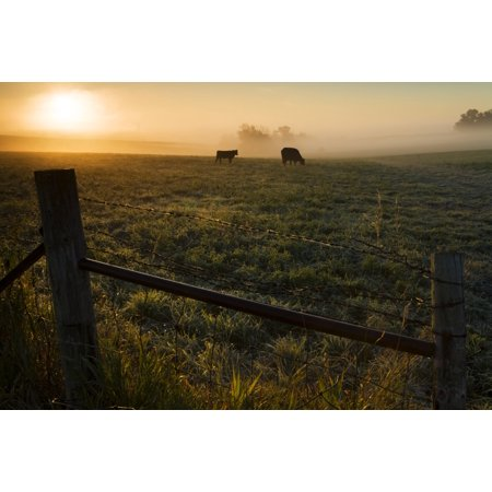 Two cows grazing in a pasture on a foggy summer morning Iowa United States of America Stretched Canvas - Lucas Payne  Design Pics (19 x - Good Morning America Halloween Pics