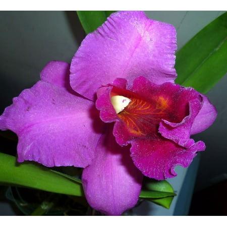 HAWAIIAN CATTLEYA ORCHID PLANT 2