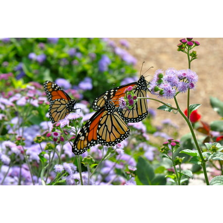 Laminated Poster Nature Monarch Butterfly Monarch Butterfly Wildlife Poster Print 24 x 36