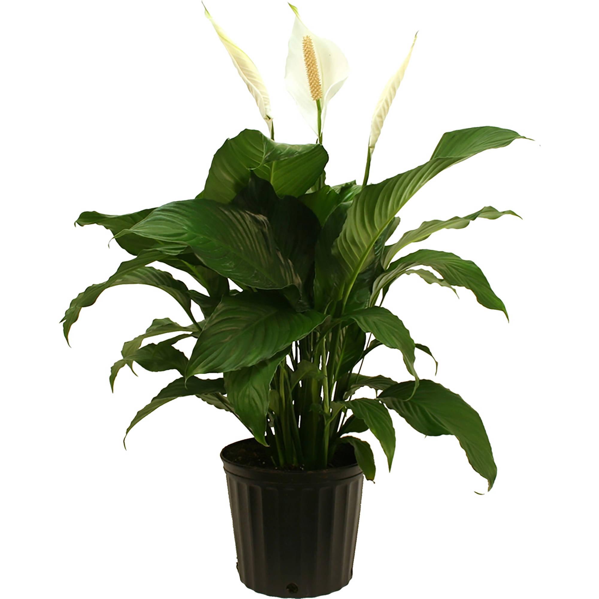 Delray plants spathiphyllum peace lily sweet pablo easy to grow delray plants spathiphyllum peace lily sweet pablo easy to grow live house plant 10 inch grower pot walmart izmirmasajfo