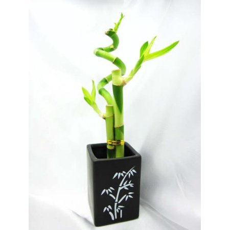 9GreenBox - Live Spiral 3 Style Lucky Bamboo Plant Arrangement with Ceramic